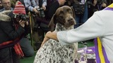 Meet CJ -- Westminster Dog Show's Best In Show
