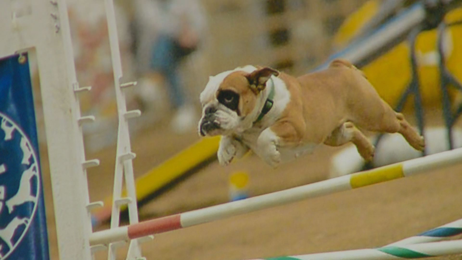 Meet Apricot The Top English Bulldog In Agility 9news Com