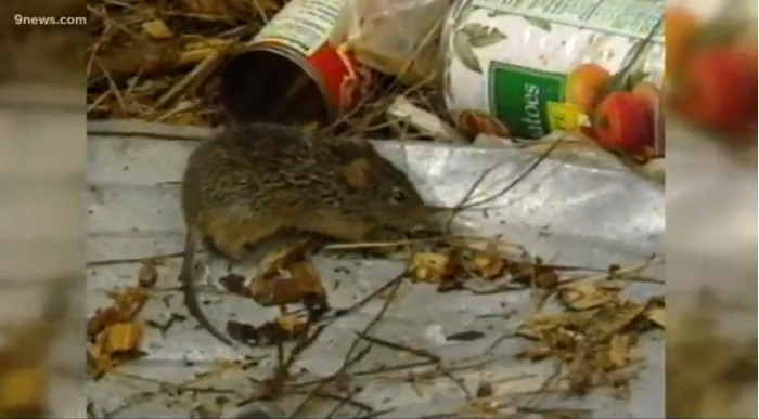 Rare hantavirus pops up in Denver